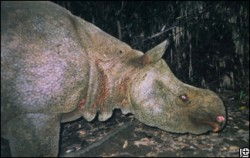 Rare footage captures photo of the world's most threatened Javan rhino. See baby photos below.