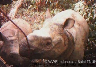 Rare Javan Rhino Mothers with Babies