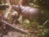 Rare Javan Rhino Mothers with Babies