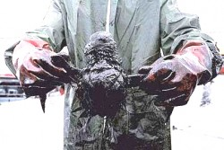 Save An Oil Soaked Bird!