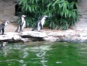 Philadelphia Zoo penguins play with a butterfly.