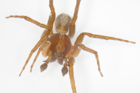 Dominic Monaghan's spider name. Ctenus monaghani. (Photo: Peter Jäger/Senckenberg)